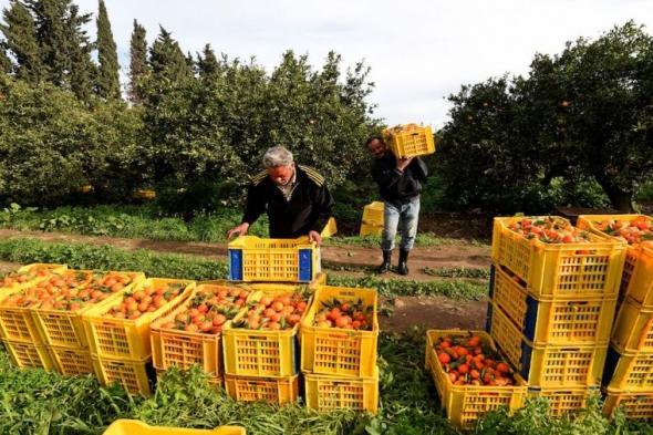 البرتقال التونسي .. زيادة في الإنتاج وصعوبات في التصدير